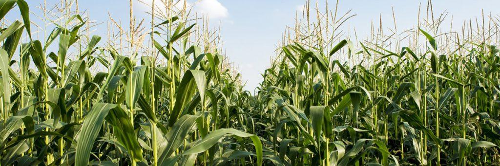 Farmer's corn field